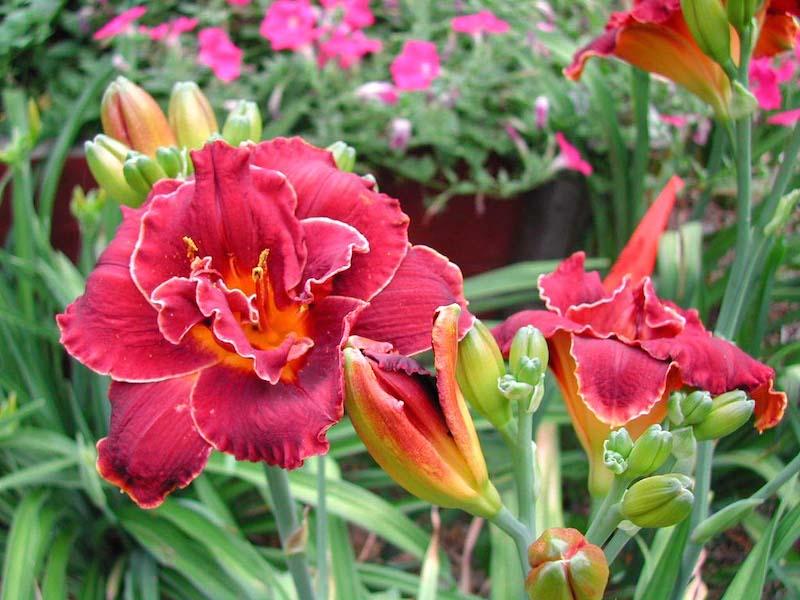 Lilien als Pflanzengattung