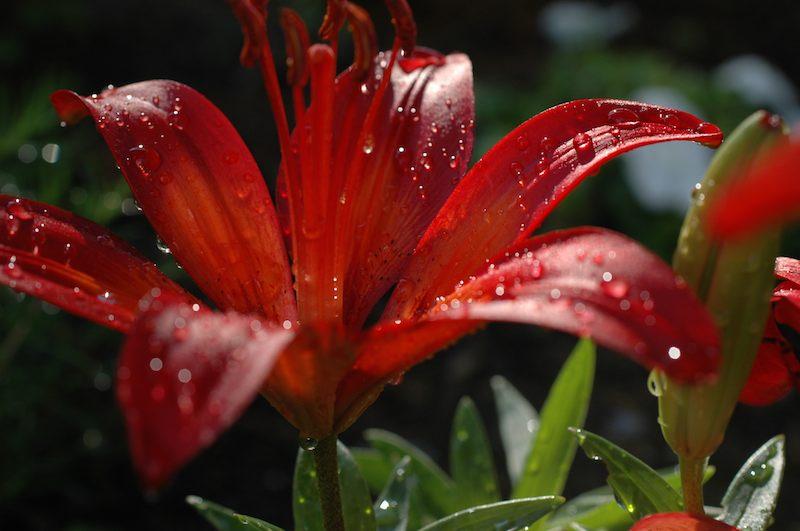 Einpflanzen und Pflege von Lilien